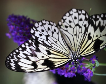 Black and White and Purple Monarch Butterfly Series of 3