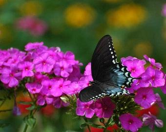 Black Mountain Swallowtail