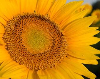 Sunflower Detail Photograph