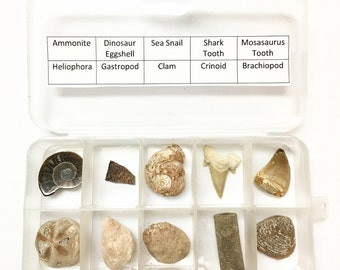 Genuine Fossil Collection - 10 Different Pieces! - Dinosaur Eggshell, Mosasaurus Tooth, Shark Tooth, and more!