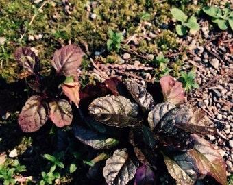 Ajuga reptans - or Bugleweed. Live Plant
