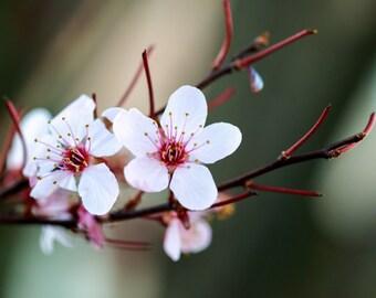 pink blossoms, flowers, flower photography, art, spring art, still life, home decor, wall art, nature art, wall decor