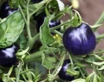 Purple Tomato 10 Seeds - No GMO