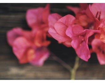 Nature Photograph - Bougainvillea Art - Flower Photograph - Pink Art - Rosewood - Fine Art Photograph - Alicia Bock - Floral Art - Botanical