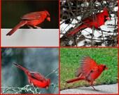 cardinal print set, bird print set, cardinal photo set, cardinal photos, orinthology gift, birdwatcher gift, bird lover give, art sale