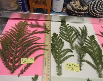 Choose your Norfolk Pine Pressed and Preserved in Alaska 327 FL