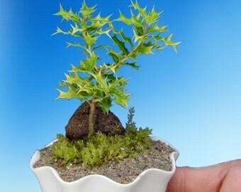 Okinawa Holly Baby Bonsai Tree