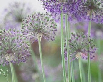 Flowers like Pompoms Photo