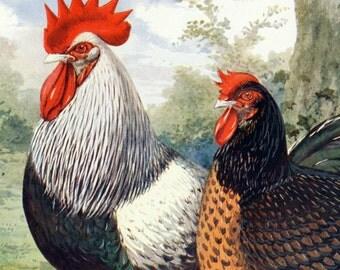 Antique Print of Dark Dorking Chickens - 1902 Vintage Print