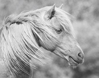 Chincoteague Pony - Wild Horse of Assateague Island Photo - 11x14 Black and White Animal Photography Print