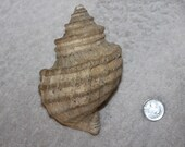 AWESOME LARGE SHELL Beautiful beach find large shell great display piece or collector shell