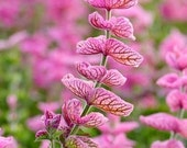 Ornamental Sage Seed // Organic & Non GMO // Pink Sunday Salvia