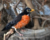 Needle Felted  bird. American Robin. Life Size. Soft Sculpture. Made to order
