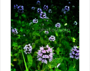 8 x 10 Kentucky Purple Wildflowers  photo print