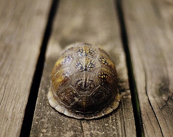 """Still Life Photograph """"Box Turtle"""" photography affordable fine art print brown gray wall art home decor nature"""