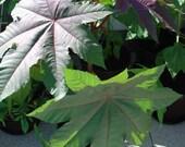 Caster Bean Seeds (Ricinus communis)