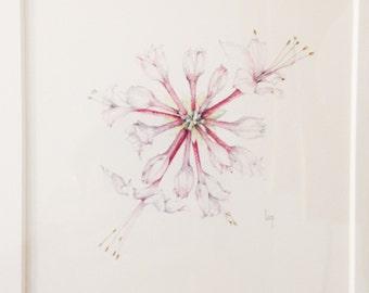 Original Botanical Watercolor on paper of Pinxter bloom azalea