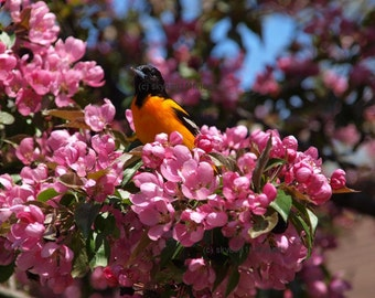 Baltimore Oriole, bird photograph, nature card, bird lovers card, , apple blossoms, pink, orange, green, blank card, write own msg