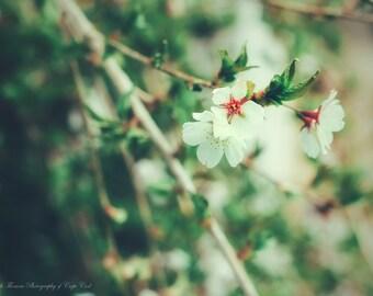 WEEPING CHERRY FLOWER Photography Bush Tree Garden Floral Bloom Print Art Photo Nature Landscape Seasonal