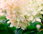 Photography Print, Garden, Nature, Hydrangea Photo, Soft pink and Cream Petals, Wall Art, Romantic Floral Print