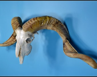 N# Real goat  Ram skull with horns for art work or display,clean, beautiful,cool gift free shipping