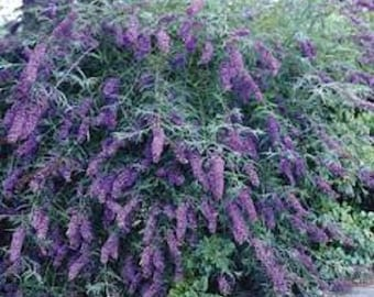 Wholesale plugs, perennials, this is an add and I will do a custom listing per orders with actual shipping and handling