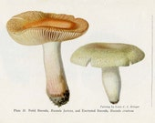 ANTIQUE MUSHROOM Double-Sided Book Plate Fetid Russula and Silky Volvaria New York State Museum Handbook 1935