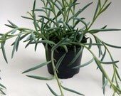 """Fish Hook Succulent Hanging Plant for Hanging Planter - 4"""" Potted Plant for 5"""" or more Hanging Planter"""