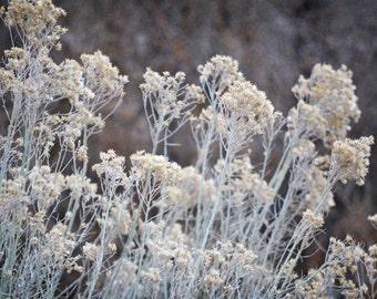 Desert Sage Plant Photography Print 12x18 Fine Art New Mexico Rustic Wilderness Southwest Winter Landscape Photography Print.