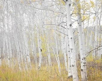 Aspen Trees Photography Print 12x18 Fine Art Colorado Forest Woodland Fall Foliage Autumn Landscape Photography Print.