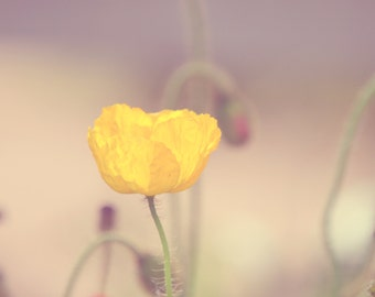 California Poppy, Pale Yellow Flowers, Still Life, Modern Wall Art, Nursery, Macro Flowers, Minimal Botanical Photography, Pastel Art