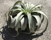 Air plant xerographica extra large