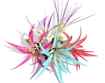 Air Plant Fun Pack Mix of 10 Plants