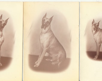 Collection 3 Great Dane portrait Olan Mills photography old photo found photography dog portraits