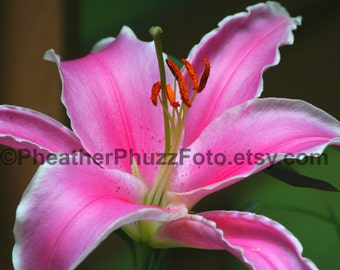 Sorbonne Oriental Lily Wildlife Photography Fine Art Nature Print, Flower Floral Photo, Garden Lily Home Decor, Wall Art