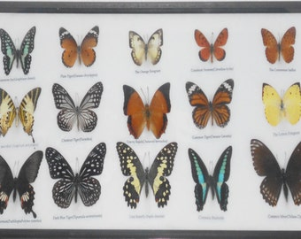 REAL 15 BEAUTIFUL BUTTERFLIES Collection in Frame/BF17U
