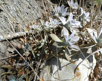 Succulents Photograph DIGITAL Download Primitive Rustic Country Woodlands Nature Graphics Art Crafts Background COMMERCIAL LICENSE