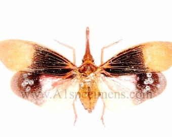 Pyrops Sultana Lanternfly Spread Specimen