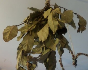 Bunch of dried bayleaves on twigs
