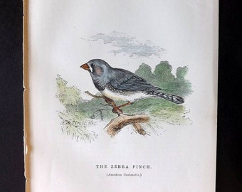 Gedney 1888 Hand Col Bird Print. The Zebra Finch, Australia Native.