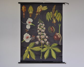 Authentic Mid Century Botany Print. Chestnut Tree. Pull Down School Chart. Jung Koch Quentell. Germany. 1204