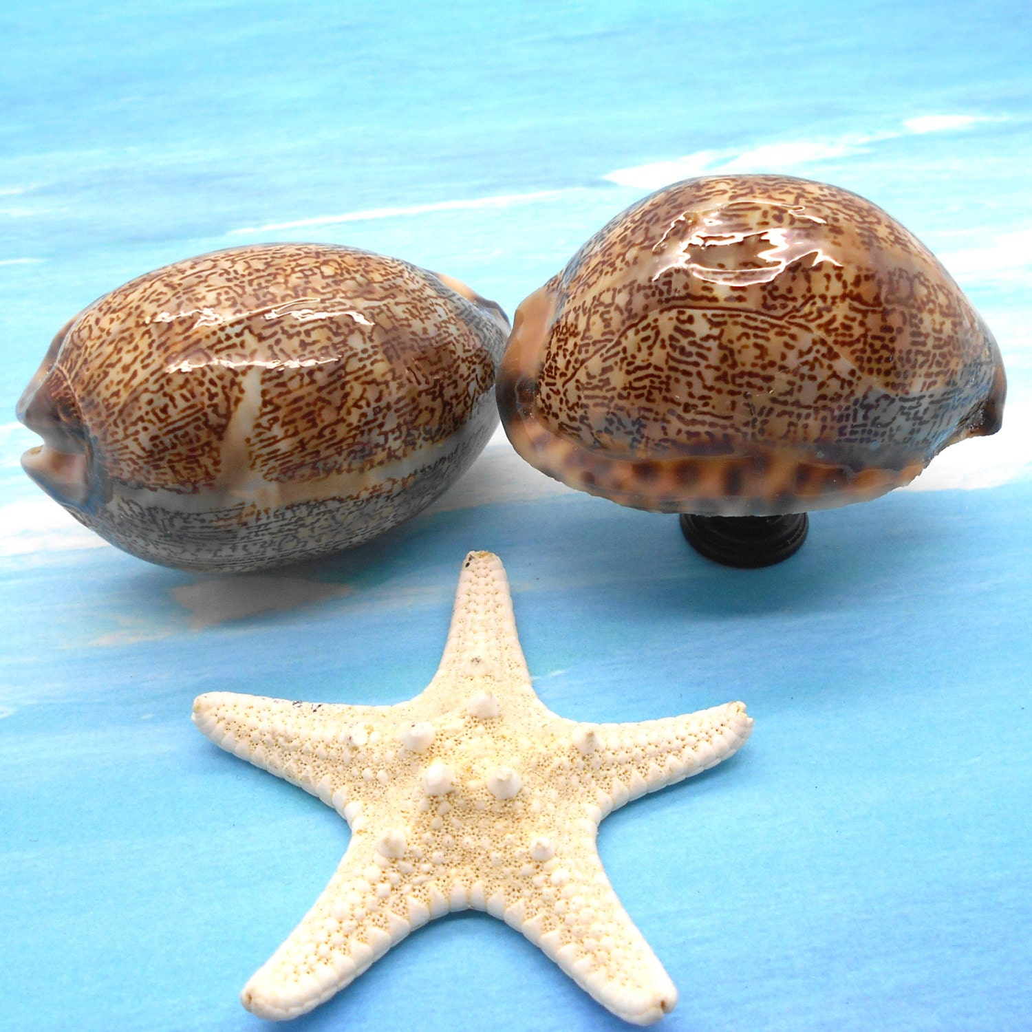 Knobs Shell Knobs Sea Shell Cabinet Knobs Cowrie Shells