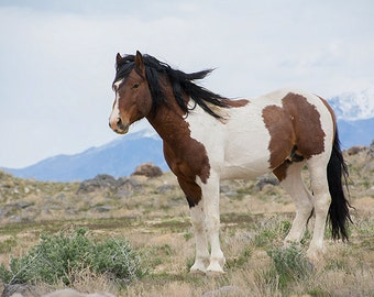 """Wild Mustang Stallion """"Charger"""" ~ Wild Horses ~ Equine Art ~ Equine Photography ~ Home Decor"""