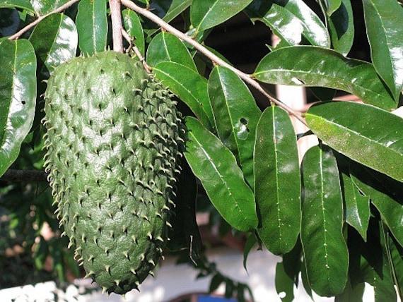 Guanabana seedling Edible Fruit Plant Exotic Tropical Soursop Annona ...