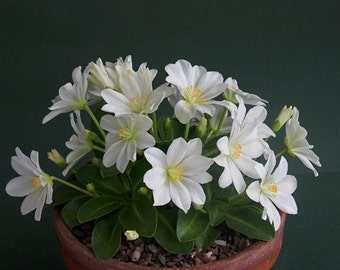 Lewisia tweedyi 'Alba',(white ) Suitable for growing in containers, Great for the rock garden / flowering pot plant,Perennial.