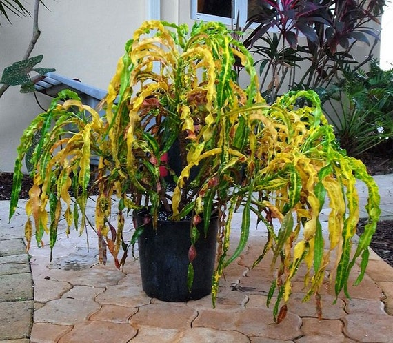 Multi color croton live tropical house plant variegated - Colorful indoor plants ...