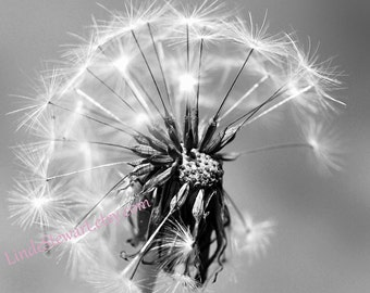 Dandelion in Black and White, Dandelion Print, , Square Image, bedroom, bathroom, wall art