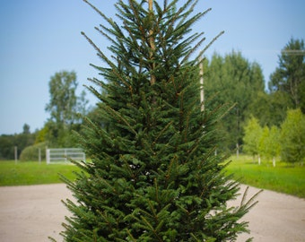 10 Seeds Picea abies, The Norway spruce