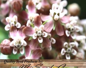 Common MILKWEED Seeds - Asclepias syriaca - Virginia Silkweed - Butterfly FLOWER SEED - Zones 3 - 9