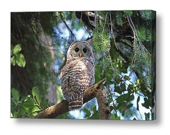 Owl Decor, Barred Owl, Owl Canvas, Bird Canvas, Raptors, Canvas Art, Owl Photograph, Holly, Bird Photograph, Owl Gift, Birdwatchers Gift